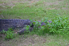 Crocodile hide Stock Photos