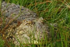 Crocodile hiding in the grass. A closeup of a single crocodile hiding in the grass along the shorline of a river stock photos