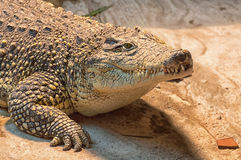 Crocodile. In his habitat at Zagreb zoo, Croatia Royalty Free Stock Photos