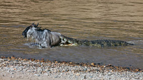 The crocodile holds the wildebeest in river Mara Stock Photo