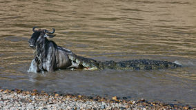 The crocodile holds the wildebeest in river Mara Stock Images
