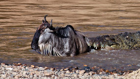 The crocodile holds the wildebeest in river Mara. The crocodile holds in the teeth the wildebeest, Masai Mara Game Reserve, Kenya Stock Photo