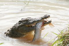 Crocodile hunting. Crocodile with large fish it has just caught Royalty Free Stock Photos