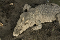 Crocodile hunting aggressive bite head alligator concept Royalty Free Stock Photo