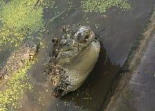Crocodile hunting aggressive bite head alligator concept. Crocodile hunting aggressive bite head alligator Stock Image