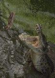 Crocodile hunting aggressive bite head alligator concept Stock Photos