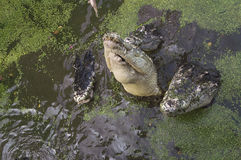 Crocodile hunting aggressive bite head alligator concept. Crocodile hunting aggressive bite head alligator Royalty Free Stock Photography