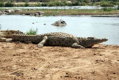 crocodile II Photo stock