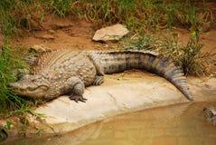 Crocodile In Hibernation Stock Image