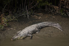 Crocodile In Sundarbans National Park In Bangladesh Royalty Free Stock Images