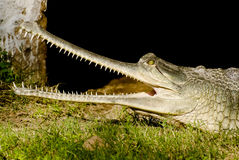 Crocodile indien Gharial photo libre de droits