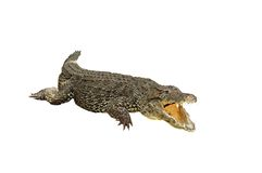 Crocodile isolated Royalty Free Stock Photos