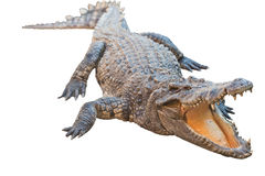 Crocodile isolated with clipping path Royalty Free Stock Photo