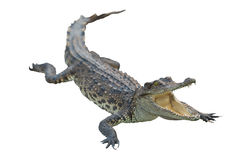 Crocodile isolated with clipping path Royalty Free Stock Photos