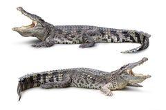 Crocodile isolated Royalty Free Stock Photos