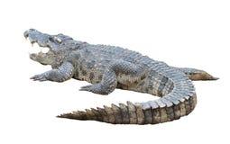 Crocodile isolated Stock Photography