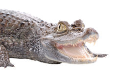 Crocodile isolated on a white Stock Photos