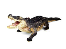 Crocodile isolated on white background. 3D rendering stock illustration