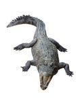 Crocodile isolated on white background. Siamese crocodile isolated on white background Stock Photo
