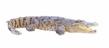 Crocodile isolated on white background Royalty Free Stock Photo