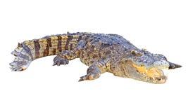 Crocodile isolated on white background Stock Images