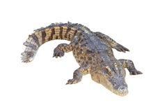 Crocodile isolated on white background Stock Photography