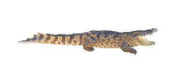 Crocodile isolated on white background Stock Image