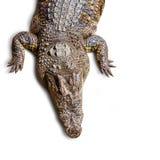 Crocodile isolated Royalty Free Stock Photo