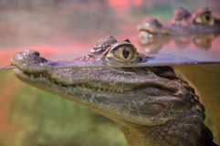 Crocodile with its eyes above water Stock Photos