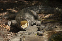 A crocodile with its mouth wide open and baby crocs all around him. Royalty Free Stock Photo
