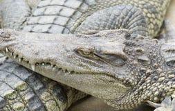 Crocodile jaw Stock Photo