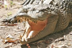 Crocodile Jaw Royalty Free Stock Photography