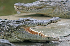 Crocodile jaws Stock Photo