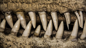 Crocodile jaws Royalty Free Stock Photos