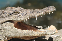 Crocodile jaws Stock Photography