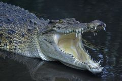 Crocodile Jaws Shut Off Deadly