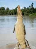 Crocodile jumping in the air in river Royalty Free Stock Image