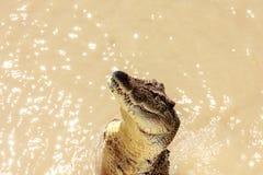 Crocodile jumping Royalty Free Stock Photo