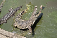 Crocodile jumps out of the water to bite the food stock photo