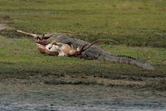 Crocodile kill Deer Royalty Free Stock Photography