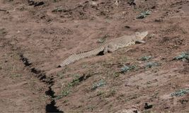 Crocodile. At Kruger National Park Stock Photography
