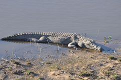 Crocodile. From Kruger park southafrika - safari royalty free stock image