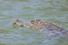 Crocodile at Lake Baringo, Kenya Stock Image