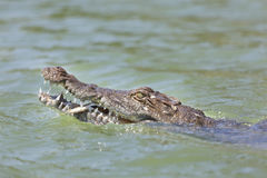 Crocodile at Lake Baringo, Kenya. A partly tame freshwater crocodile eating a fish at Lake Baringo, Kenya showing its head Stock Image
