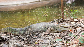 Crocodile is between land and water Royalty Free Stock Image