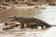 Crocodile. Large croc in the Grumeti River, Serengeti National Park Royalty Free Stock Photos