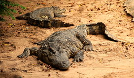 Crocodile. Large crocodiles relax on the ground Stock Images