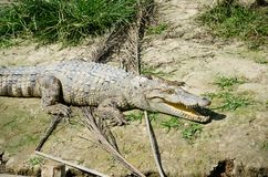 Crocodile, large reptiles. Stock Photography