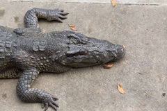 Crocodile laying on cement ground Royalty Free Stock Images