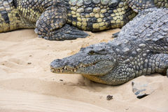 Crocodile laying on sand Royalty Free Stock Image